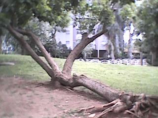 The Laying Tree - 1st angle